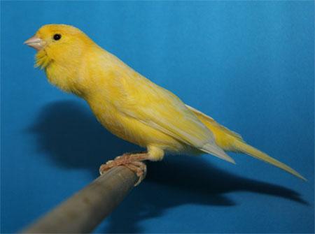 historia del canario roller o harz