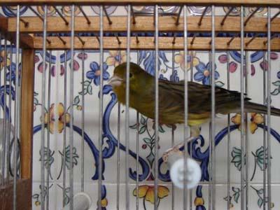 fotografia canario timbrado cantando