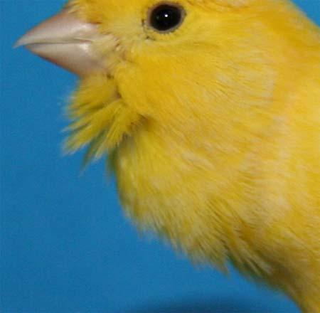 influencia de la siringe en el canto del canario