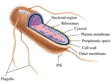 colibacilosis en aves