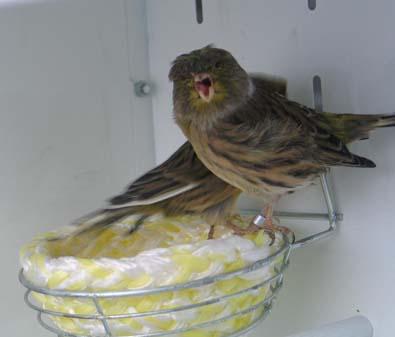 muda en aves de jaula