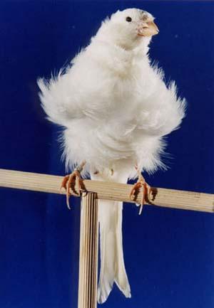 fotos de canarios rizados padovanos