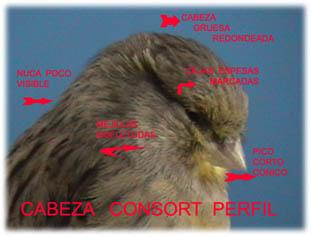 perfil de canario gloster